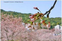 桜つぼみfb.JPG