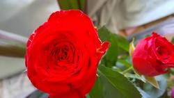 真紅バラの花202101
