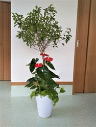 観葉植物寄せ植えベンジャミン